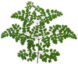 Moringa Oleifera Blad - VitaMoringa - Video Moringa