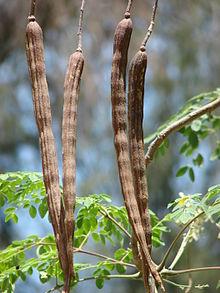 Moringa Oleifera Peulen en Zaden